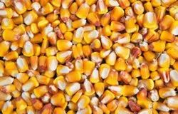 Yellow Corn Maize Cattle Feed