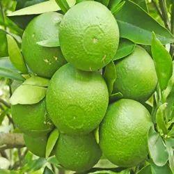 Thai Sweet Malta Plant