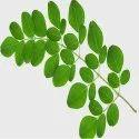 Moringa Oleifera Leaves Extract