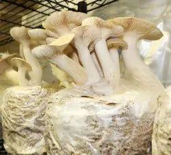 King Oyster Mushroom Spawn