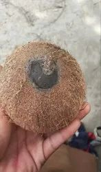 One Eye Coconut (Rarely Founded)