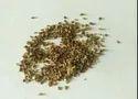 Yellow Chrysanthemum Seeds