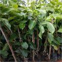 White Jamun Plant