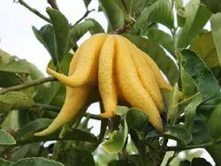 Buddha Hand Lemon Plant