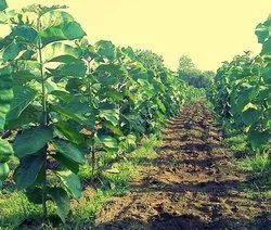 Burma Teak plants.