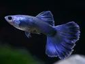 Moscow Blue Guppy Fish, 3 Years, Size: 1.5 Inches