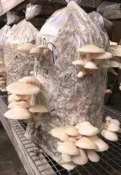 Natural Oyster Mushroom Spawn, Packaging Size: 1 Kg