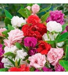 Hybrid Balsam Tom Thumbmix Flower Seeds, For Plantation, Packaging Size: Small Size Packet