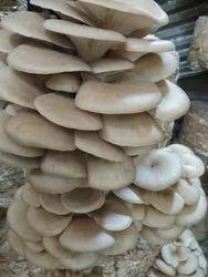Purely Organic karnataka Oyster Mushroom, Packaging Type: Plastic Bag, Packaging Size: 5 Kg