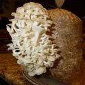 Pearl Oyster Mushroom Spawn