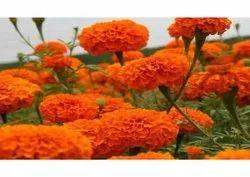 Orange Marigold Flower, For Decoration
