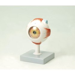 MS-126 Human Eye Model