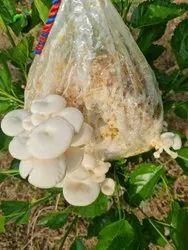 Pan India Grey Oyster Mushroom bags, Packaging Type: Plastic Bag, Packaging Size: 1kg
