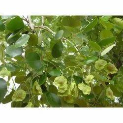 100% Natural Pterocarpus Santalinus Powder, Packaging Type: Packet, Packaging Size: 500 Gm