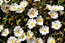 Cistus Absolute ( Pure And Natural)