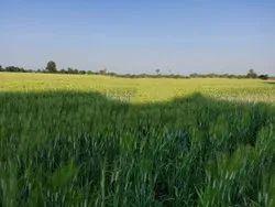 Natural Hi 8713 Pusa Mangal Wheat Seed, 12%, Packaging Size: 40 Kg