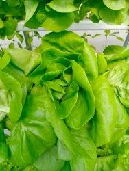 Butter Head Lettuce Seeds