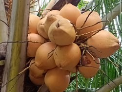 Yellow Tender Coconut, Packaging Size: 20 kg