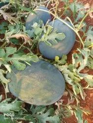 SAMBHA AGRO Sugar Queen Watermelon, Packaging Type: Loose, Packaging Size: Pick up load