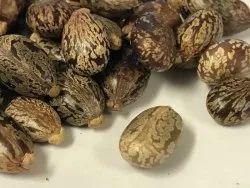 Brown Castor Beans Seeds (Ricinus Communis)