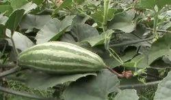 A Grade Green Fresh Vegetable, Gunny Bag, 1000 kg