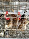 Kuroiler FFG Chicken