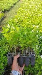 充分的阳光曝光白色杂种莫格拉植物,花园,包装类型:包
