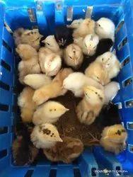 Srs Aseel cross Chicks