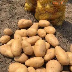 A Grade Cold Storage Fresh Potato, Loose