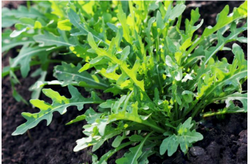 Green Fresh Arugula Leaves, Packaging Type: Bag, Grade: A Grade