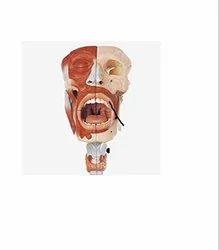 Nasal, Oral, Pharynx & Larynx Cavities