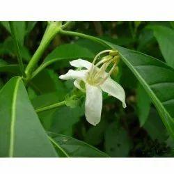 Adhatoda Vasica Herb