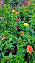 Fast Growth Habiscus Rosa-sinensis Hibiscus Flower Plant, Packaging Type: Carton Box, Summer &Winter