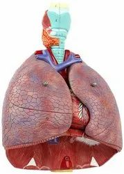 As shown in picture PVC Human Respiratory System Model, Size: Life Size