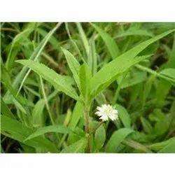 Bhringaraj Herb