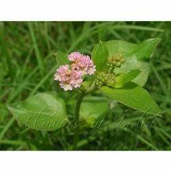 Punarnava Herb