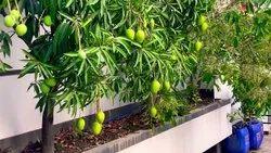 Full Sun Exposure Green Amrapali Mango Plant, For Plantation