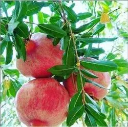 1 Year Pomegranate Farming Consultancy Services, 1 Acre