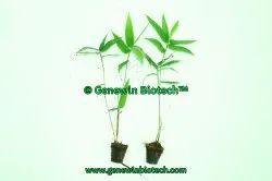 Bambusa Balcooa Primary Hardened Plants