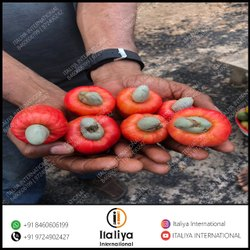 Qualitative Raw Cashew Nut