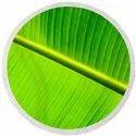 Real Banana Leaf Design BOPP 8 Micron Jindal