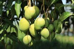 3 Test Mango plant