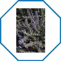 Well Watered Purple Hysopus Parviflora, Packaging Type: Carton Box, Spring