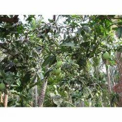 Dry Mango Leave