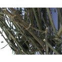 Kalmegh Dry Extract