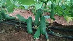 Cucumber Rijk Zwaan