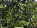 Malkangni Extract (Celastrus Paniculata)