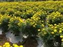 Yellow Karina F-1 Hybrid Marigold Seeds