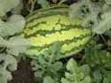Turbo F-1 Hybrid Watermelon Seeds