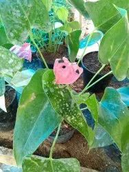 Pink ( Flower) Fast Growth Chinese Anthurium Plant, For Garden